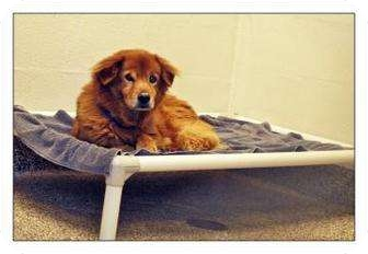 Golden Retriever/Chow Chow Mix Dog for adoption in North Charleston, South Carolina - Little Bear