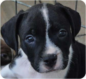 American Bulldog/American Staffordshire Terrier Mix Puppy for adoption in Atlanta, Georgia - Indy