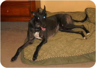 Greyhound Dog for adoption in Knoxville, Tennessee - AHK Salsa