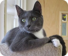 Domestic Shorthair Cat for adoption in Norwalk, Connecticut - Santana