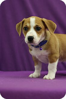 Chihuahua Mix Puppy for adoption in Broomfield, Colorado - Phillie