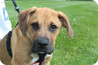 Boxer/Shepherd (Unknown Type) Mix Puppy for adoption in Broomfield, Colorado - Country Joe