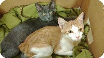 Domestic Shorthair Kitten for adoption in Homewood, Alabama - Flint