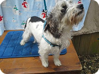 Poodle (Miniature)/Poodle (Toy or Tea Cup) Mix Dog for adoption in Hagerstown, Maryland - Oscar