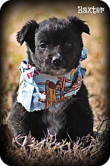Australian Shepherd Mix Puppy for adoption in Brattleboro, Vermont - Baxter