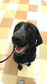 Labrador Retriever/Great Dane Mix Dog for adoption in ST LOUIS, Missouri - Bella