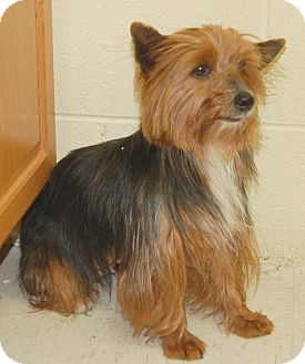 Yorkie, Yorkshire Terrier Dog for adoption in Hagerstown, Maryland - Ginger