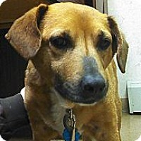 Adopt A Pet :: Ginger-COURTESY POST - Olmsted Falls, OH