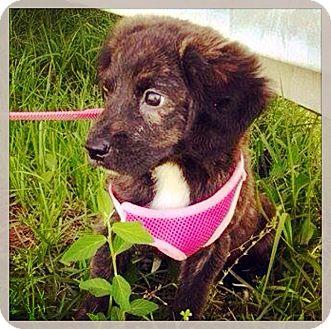 Plott Hound Mix Puppy for adoption in Grand Bay, Alabama - Ophelia