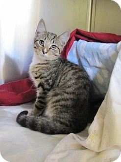 Domestic Shorthair Kitten for adoption in Morristown, New Jersey - Bo