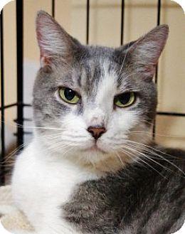 Domestic Shorthair Cat for adoption in Medford, Massachusetts - Thor