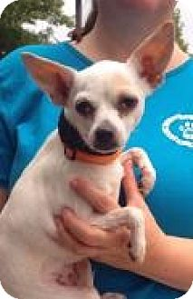 Chihuahua Dog for adoption in Mount Pleasant, South Carolina - Lil Bit