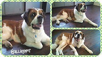 St. Bernard Dog for adoption in DOVER, Ohio - Gallagher- Adoption Pending