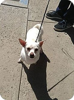 Dachshund/Chihuahua Mix Dog for adoption in Santee, California - Jackie -O