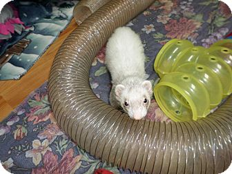 Ferret for adoption in Fawn Grove, Pennsylvania - Slinky