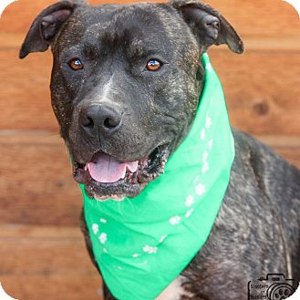 Pit Bull Terrier Mix Dog for adoption in Divide, Colorado - Mcstuffin