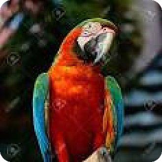 Macaw for adoption in Anthony, Florida - Tony