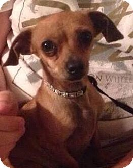 Chihuahua/Dachshund Mix Dog for adoption in Saddle Brook, New Jersey - Harper