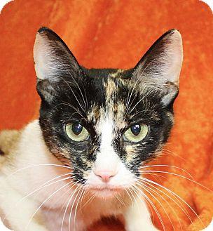 Calico Cat for adoption in Jackson, Michigan - Callie