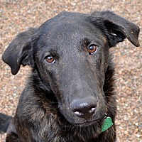 Labrador Retriever/Shepherd (Unknown Type) Mix Dog for adoption in Independence, Missouri - Hosmer