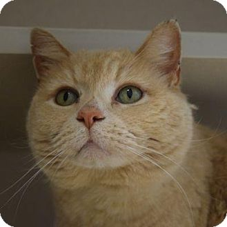 Domestic Shorthair Cat for adoption in Denver, Colorado - Mel