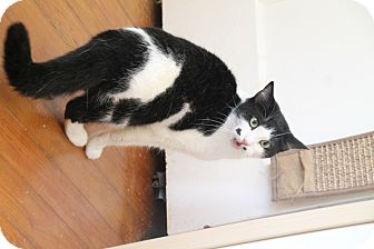 Domestic Shorthair Cat for adoption in Nashville, Tennessee - Norma Jean