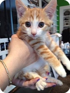 Domestic Shorthair Kitten for adoption in McHenry, Illinois - Mama's Boy