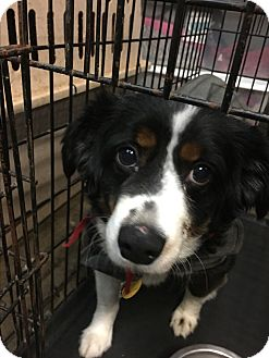 Australian Shepherd Dog for adoption in Parker, Kansas - Bubba