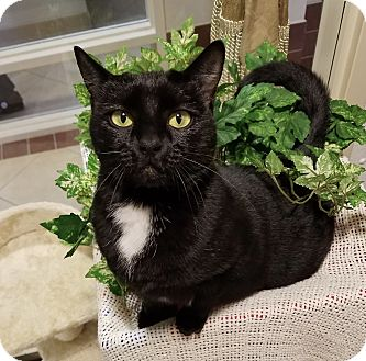 Domestic Shorthair Cat for adoption in Hendersonville, North Carolina - Giselle