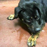 Miniature Pinscher Dog for adoption in Atlanta, Georgia - SUNFLOWER