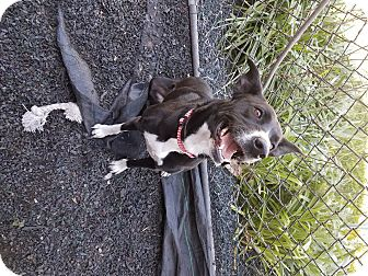 Border Collie Mix Dog for adoption in Indianapolis, Indiana - Quinn