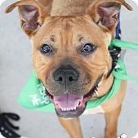 Boxer Mix Dog for adoption in Washington, D.C. - Trudy