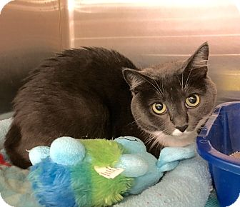 Domestic Shorthair Cat for adoption in Arlington/Ft Worth, Texas - Smokie