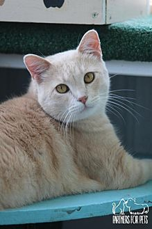 Domestic Shorthair Cat for adoption in Troy, Illinois - Desperado