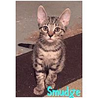 Adopt A Pet :: Smudge (AD) - Devon, PA