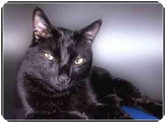 Domestic Shorthair Cat for adoption in San Clemente, California - SOOT
