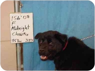 Chow Chow Mix Dog for adoption in Zanesville, Ohio - Midnight/Pending