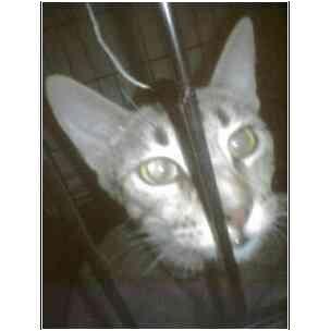 Domestic Shorthair Cat for adoption in Owasso, Oklahoma - Zellie