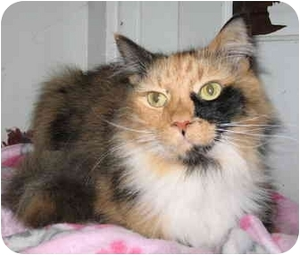 Domestic Longhair Cat for adoption in Cincinnati, Ohio - Clementine