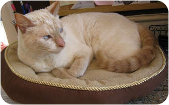 Siamese Cat for adoption in Snohomish, Washington - Earl