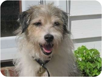 Jack Russell Terrier Dog for adoption in Long Beach, New York - Franklin