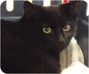 Domestic Shorthair Cat for adoption in Raritan, New Jersey - Igloo