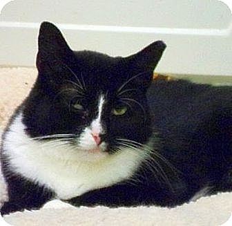 Domestic Shorthair Cat for adoption in Huntington, New York - Jasmine