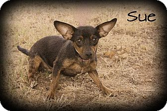 Chihuahua Mix Dog for adoption in Brattleboro, Vermont - Sue