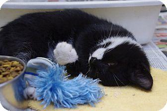 Domestic Shorthair Kitten for adoption in Elyria, Ohio - Uno