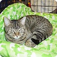 Domestic Shorthair Cat for adoption in Los Angeles, California - Freddie