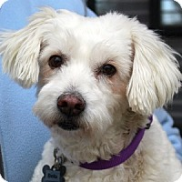 Adopt A Pet :: Bella - La Costa, CA