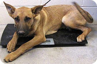 German Shepherd Dog/Labrador Retriever Mix Dog for adoption in Greenville, Georgia - Tanner
