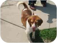 Beagle Mix Dog for adoption in Glen Allen, Virginia - Buddy