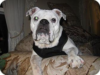 English Bulldog Mix Dog for adoption in Rockville, Maryland - Meatball